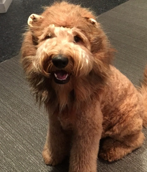 Hospital Dog And Superstar Mel Shows Off His Amazing Lion Costume