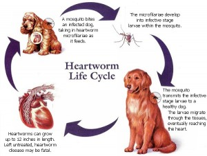 heartworm_cycle1